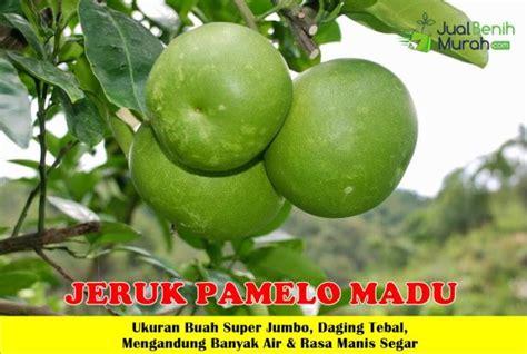 Tanaman Jeruk Siem Madu buah jeruk pamelo jualbenihmurah