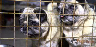 pug rescue ny state the cutest pugs in the world pugs home