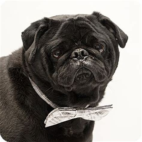 pug rescues in ohio troy oh pug meet porky a for adoption