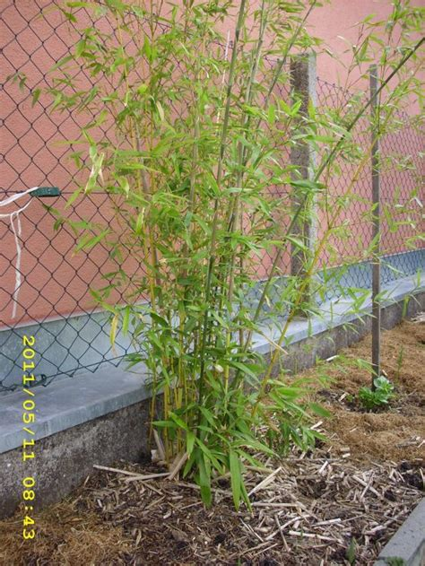 Bambus Phyllostachys Bissetii 1479 by Bambus Phyllostachys Bissetii Bambus Phyllostachys