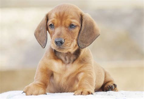 doxon puppies dachshund puppies for sale chevromist kennels puppies australia