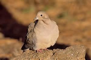 the mourning dove a classic canyon bird desertusa