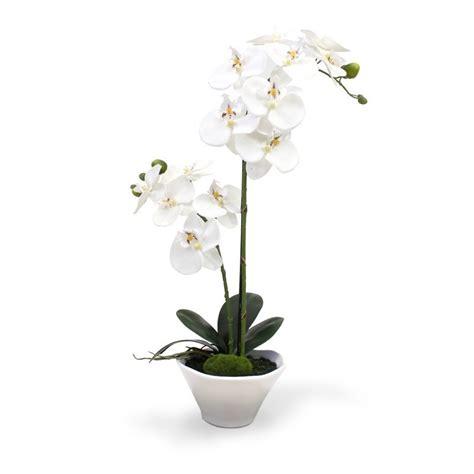 orchidee vaso orchidee phalaenopsis