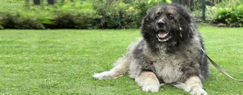 caucasian mountain temperament caucasian mountain breed health history appearance temperament and
