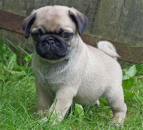 pug puppies for adoption 450 x