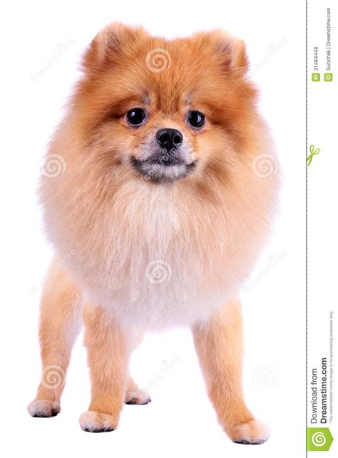 grooming a pomeranian puppy grooming hair pomeranian royalty free stock photos image 31484448