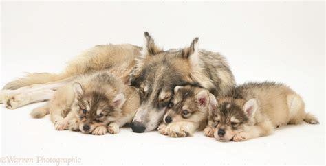 with puppies dogs sleepy utonagan with three puppies photo wp17954