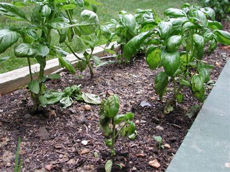 coltivazione basilico in vaso coltivazione basilico aromatiche come coltivare il