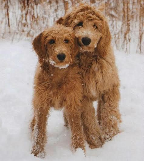 non shedding goldendoodle puppies available breeds