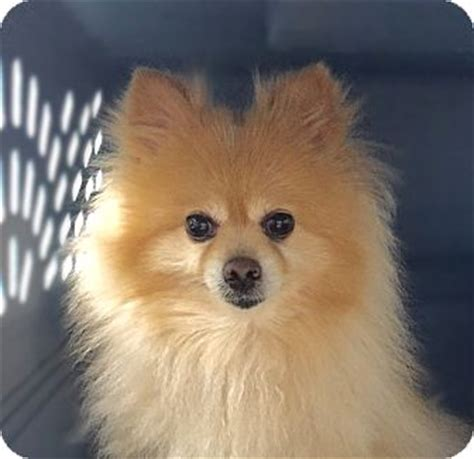 pomeranian adoption nyc bubu adopted new york ny pomeranian