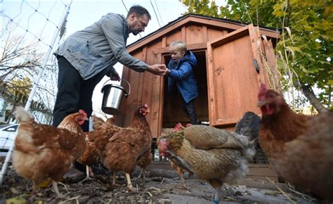 chickens for backyards coupon code conestoga offers course on backyard chicken basics