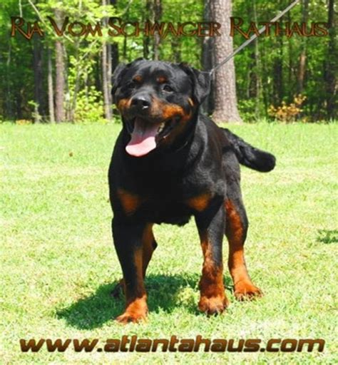 rottweiler breeders in nh german rottweiler breeders usa dogs our friends photo