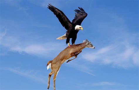 best eagle eagle facts 20 interesting information you should
