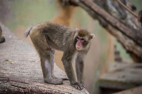 alimentazione scimmie la dieta allunga la vita delle scimmie e forse anche degli