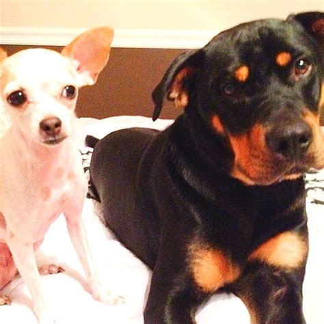 rottweiler chihuahua my chihuahua and rottweiler what a