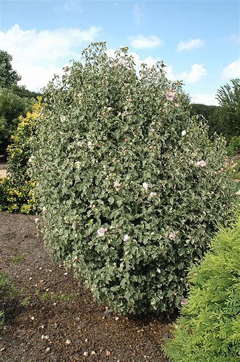sugar tip rose  sharon hibiscus syriacus america