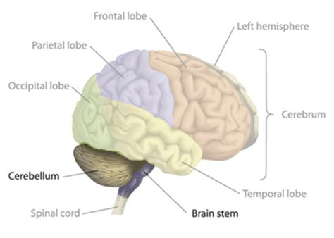 the largest section of the brain is the shawnphelan com tbi