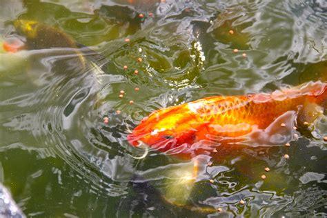 koi fish pond 6 by emoshunka on deviantart
