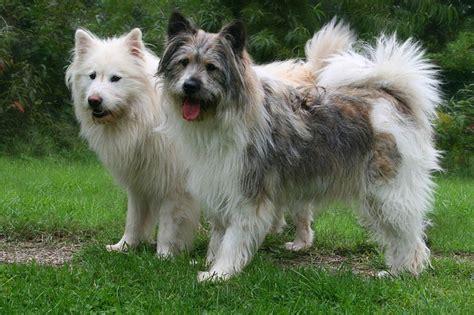 kleine hunde file elo hunde rauhaar jpg wikimedia commons