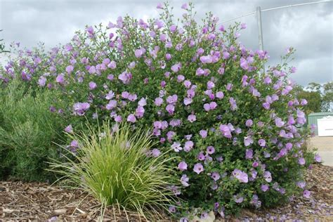 purple flowering shrubs australia alyogyne huegelii quot quot australian hibiscus fast