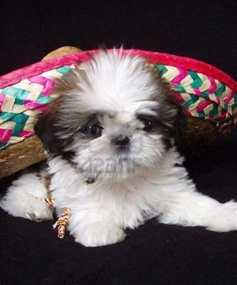 how do you spell shih tzu shih tzu puppy mexican sombrero stock photo stockpodium breeds picture
