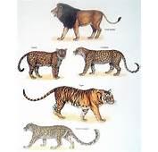 Jaguar Vs Leopard  Best Images Collections HD For Gadget