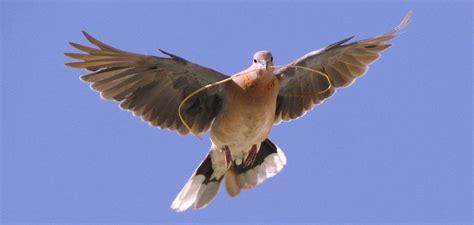 imagenes de karma bird fly aves en nuestras fincas paloma com 250 n abc del finkero