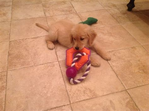 golden retriever puppies for sale in illinois 17 best ideas about puppies for sale chicago on