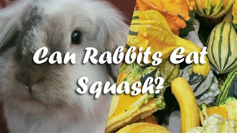 can dogs eat yellow squash can rabbits eat squash pet consider