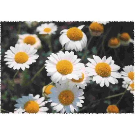 Benih Biji Bibit Bunga Chamomile bibit bunga charmomile