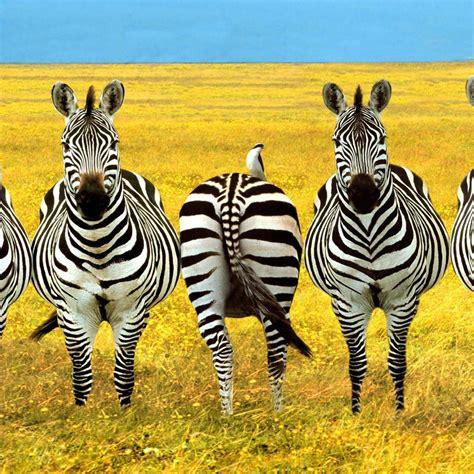 zebra ipad wallpaper background  theme