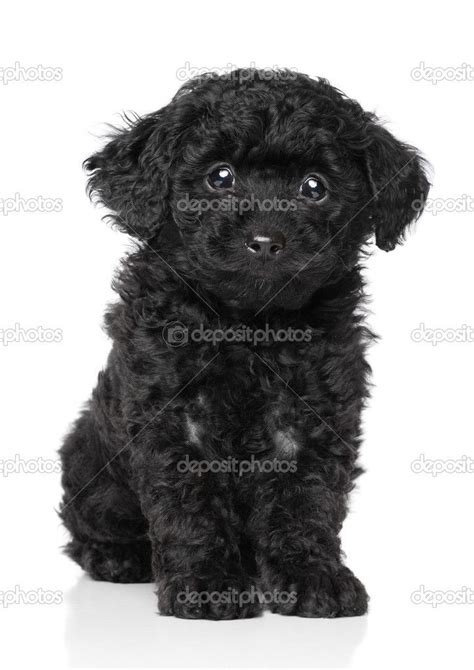 black poodle puppy 17 best images about poodles mini mixed on poodles puppys and black
