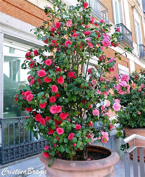 camelia in vaso 233 lia camellia flores e folhagens
