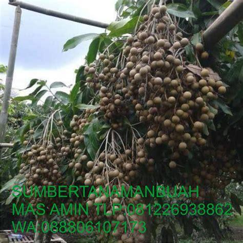 Jual Bibit Buah Unggul Bogor jual bibit tanaman buah unggul jual bibit klengkeng unggul