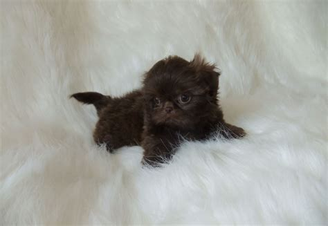 imperial shih tzu puppies price karashishi imperial shih tzu romsey hshire pets4homes