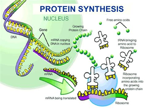4 proteins involved in dna replication protein synthesis
