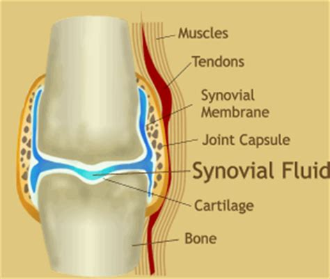 diagram of knee joint synovial joint diagram