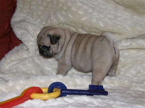 pug puupy pug puppies lewshelly paws