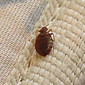 homemade remedies for bed bugs 14 best images about how to get rid of bed bugs on