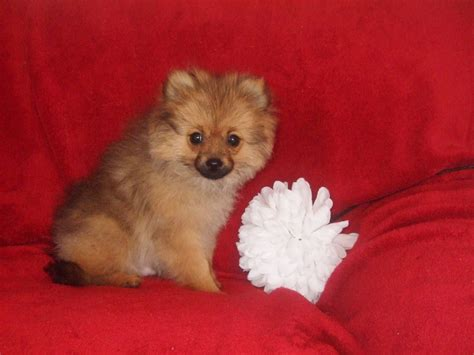 mini husky pomeranian mix for sale pomsky puppies for sale in dc breeds picture