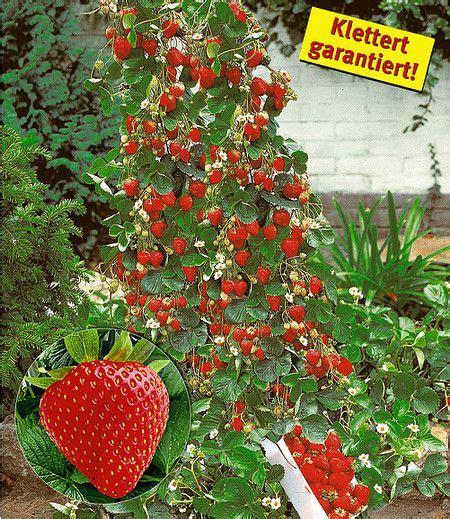 terrasse einfach bauen 3775 kletter erdbeere quot hummi 174 quot 3 pflanzen spalier klettern