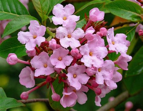 pink winter flowering shrub fragrant and winter flowering shurb luculia gratissima