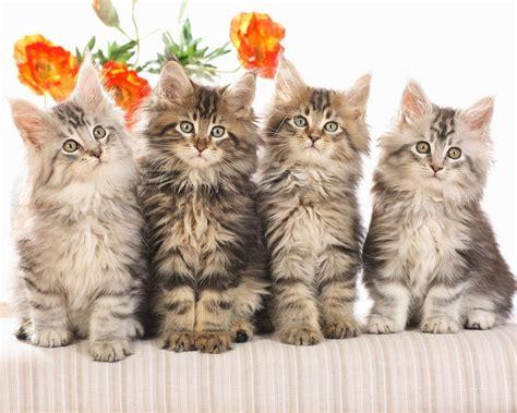 wallpaper of cat family cat wallpaper free cat desktop wallpaper