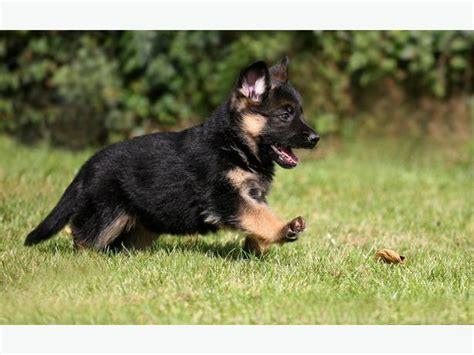 king german shepherd puppies king german shepherd puppies for sale with a price list
