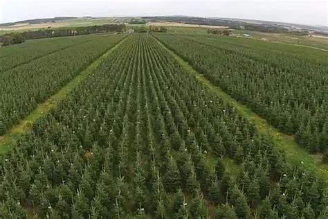 amazing footage captures uk s largest christmas tree farm