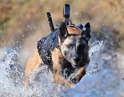 war breeds dogs of war i breeds in battle dogspot in
