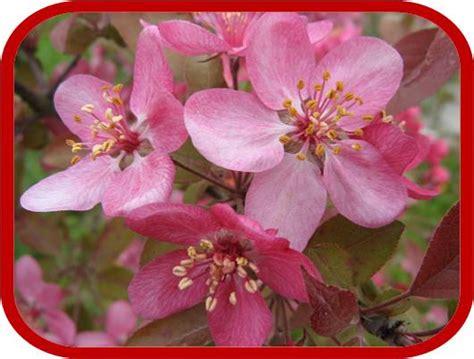 melo da fiore melo da fiore consigli coltivazione e cura