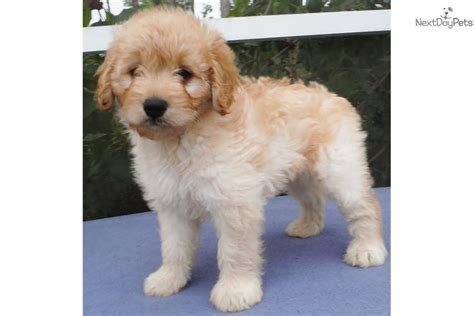 goldendoodle puppies bay area goldendoodle puppy for sale near ta bay area florida 5a2838d4 dd71