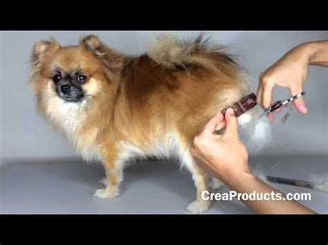 pomeranian clipping grooming this before you shave a pomeranian funnycat tv