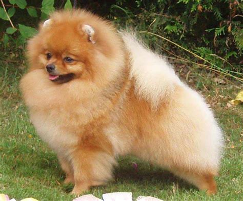 pomeranian health problems collapsing trachea pomeranian breed 187 information pictures more